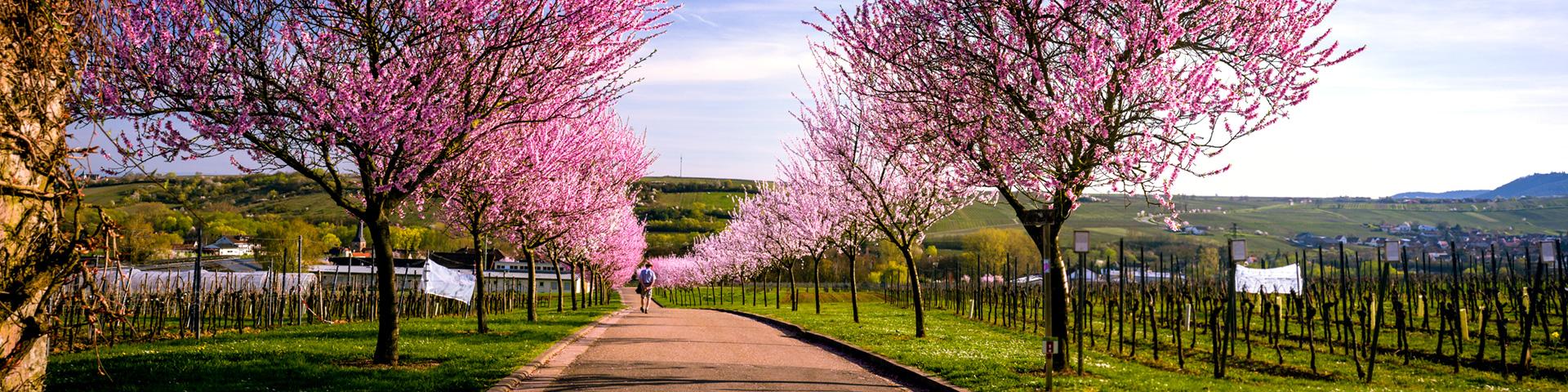 Mandelblüte rund um den Geilweilerhof